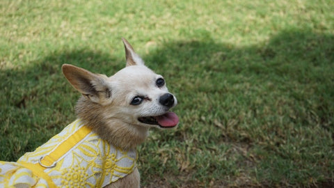 Dog in yellow lace harness dress