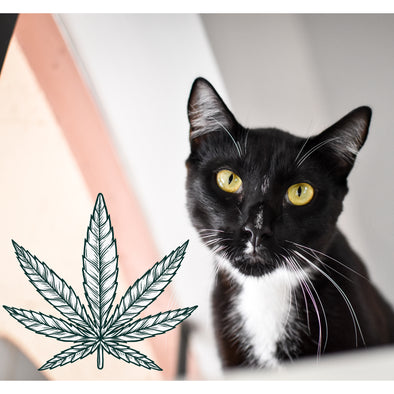 CBD Hemp Oil for Cats 101