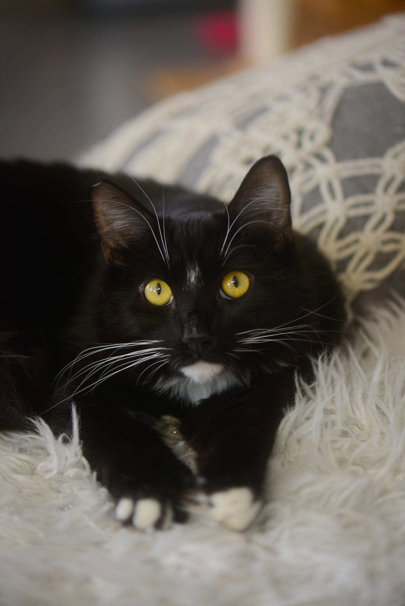 Fluffy adoptable tuxedo cat with green eyes