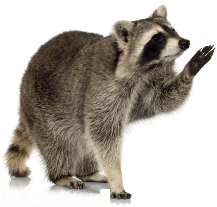 Raccoons and Rabies -  Don't Invite Them Into Your New Jersey Home