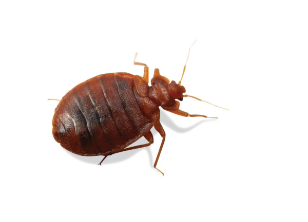 Jersey City Bed Bugs Introduction