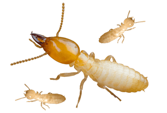 Termites Can Damage New Jersey Homes Severely