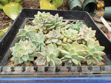 "Load image into Gallery viewer, Graptosedum California Sunset (12)  4""-5"" Cuttings Cactus and Succulents"