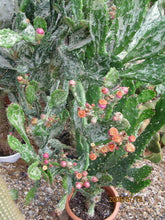 "Load image into Gallery viewer, Opuntia monacantha Joseph's Coat 11""Tall #2W"