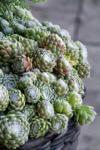 "Sempervivum arachnoideum 'Cobweb Hens and Chicks' Ten (10) 1"" Pups Succulents"
