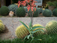"Load image into Gallery viewer, Aloe arborescens Torch Aloe 14""T CUTTING Easy Rooting Instructions Included Fast Grower  You will receive the plant possibly out of bloom"
