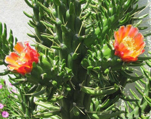 "Austrocylindropuntia Full Size Eve's Needle 5.5""Tall #4P"