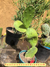 "Load image into Gallery viewer, Opuntia Emerald Wave Pale Green 14""Tall  Bare Root You will receive this plant #1R"