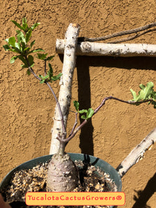 "Fockea edulis Bonsai 11""T 5""Circumference Rooted Caudex Form You will receive this Plant #7W"