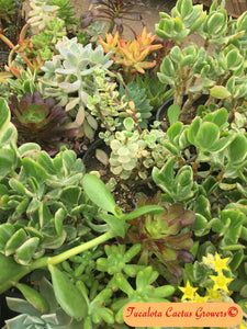 "Assorted Succulent Clippings (15)  3""-5""T"