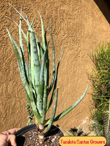 "Aloe Blue Elf 20""T 7""W #1P"