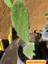 "Load image into Gallery viewer, Opuntia Nopal Verde Semi Spineless 16""T 3""W #1R"