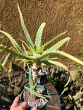 "Load image into Gallery viewer, Aloe arborescens 13""T 12""W 3Yr #5W"