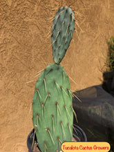 "Load image into Gallery viewer, Opuntia Prickly Pear 11""Tall 4""Wide#11P"