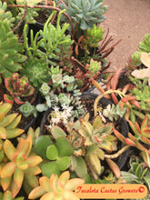 "Load image into Gallery viewer, Assorted Succulent Clippings (25)  3""-5""T"
