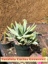 "Load image into Gallery viewer, Aloe Crosbys Prolific 10""W with Pups #10W"