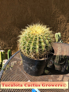 "Echinocactus grusonii Golden Barrel 8""Wide"