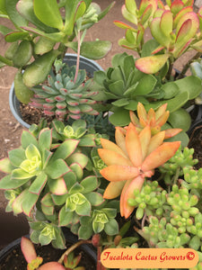 "Assorted Succulent Clippings (25)  3""-5""T"