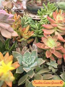 "Assorted Succulent Cuttings 15 UnRooted No Duplicates Size Range from 3""-5"" Tall"