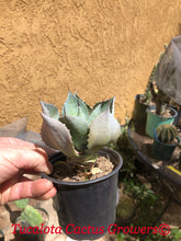 "Load image into Gallery viewer, Agave hybrid Confederate Rose 4""W #10B"