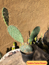 "Load image into Gallery viewer, Opuntia Prickly Pear 20""Tall 14""Wide BareRoot #2G"