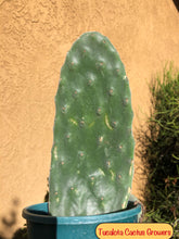 "Load image into Gallery viewer, Opuntia Nopal Verde Semi Spineless 9""T 4""W #9B"