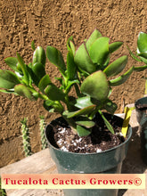 "Load image into Gallery viewer, Crassula ovata 'Obliqua propeller Jade 7""T 7""W #6Y"
