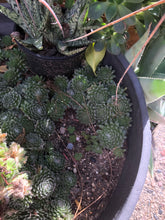 "Load image into Gallery viewer, Sempervivum arachnoideum 'Cobweb Hens and Chicks' Ten (10) 1"" Pups Succulents"