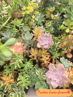 Assorted Succulent Cuttings 50 UnRooted  Size Range from 3