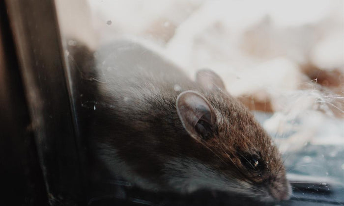 Four reasons rats are hard to trap