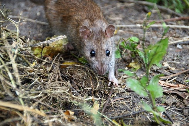 Why to choose non-toxic rodent control