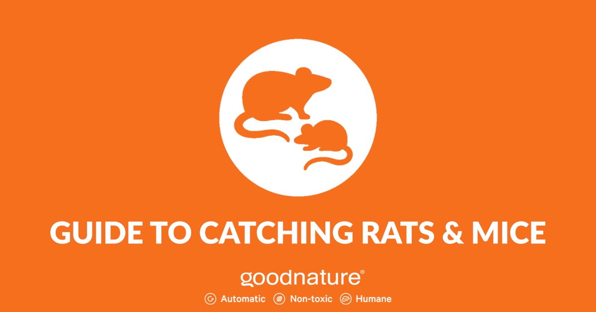 Guide to Catching Rats & Mice