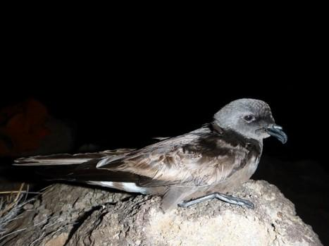 Band-Rumped Petrel