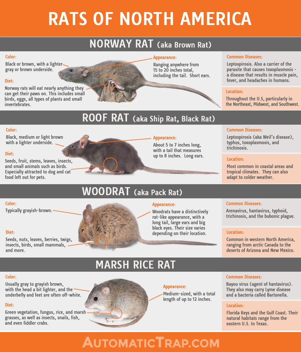 Rats Of North America