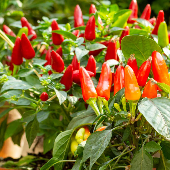 Plant a Hot Pepper Garden