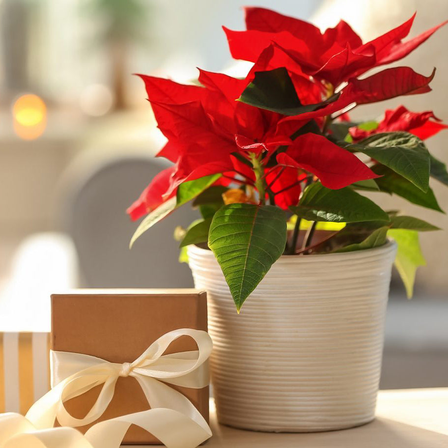 Home Care For Your Poinsettia