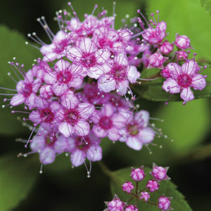 Spirea Little Princess (4670995988585)