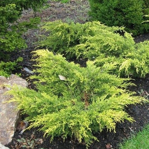 Juniper Saybrook Gold (4670981537897)