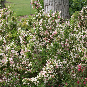 Weigela Sonic Bloom Pearl