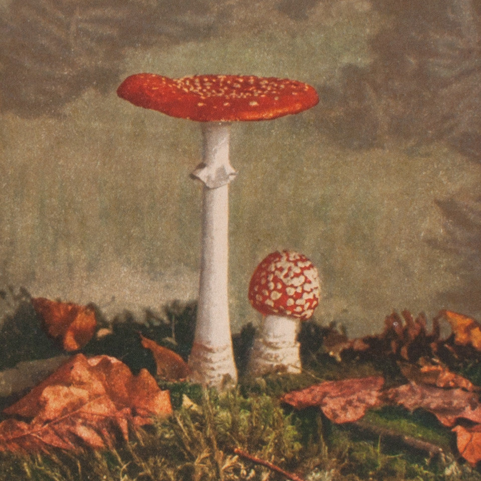 Mushrooms Stereograph