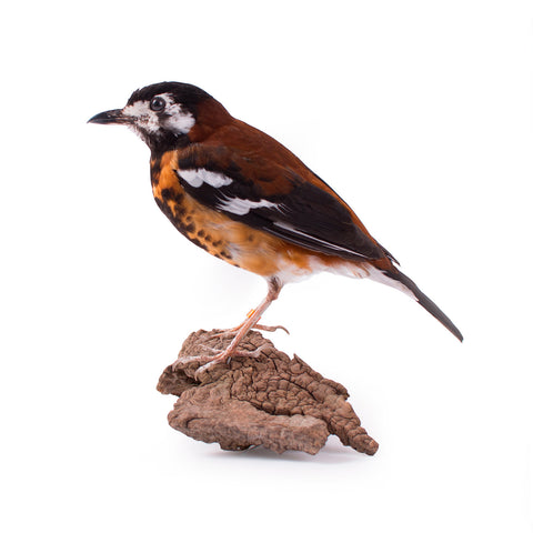 Chestnut-backed Thrush