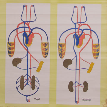 Development Of Bloodcirculation School Chart Concrete Matter Vintage
