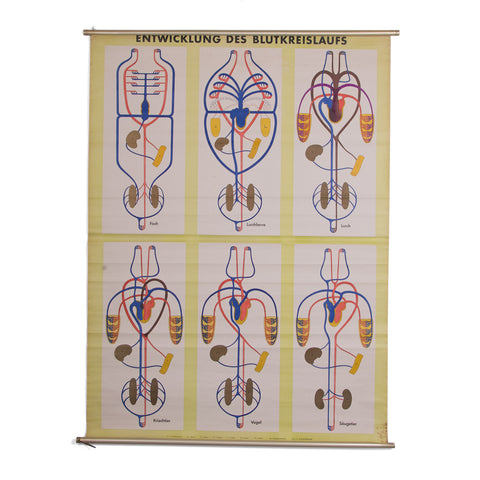 Blood Circulation School Chart