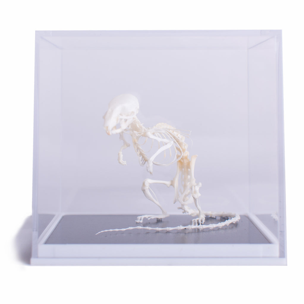 Mouse Skeleton
