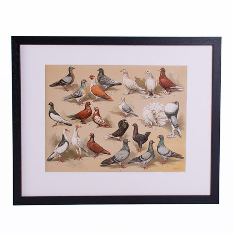 Pigeons Lithograph