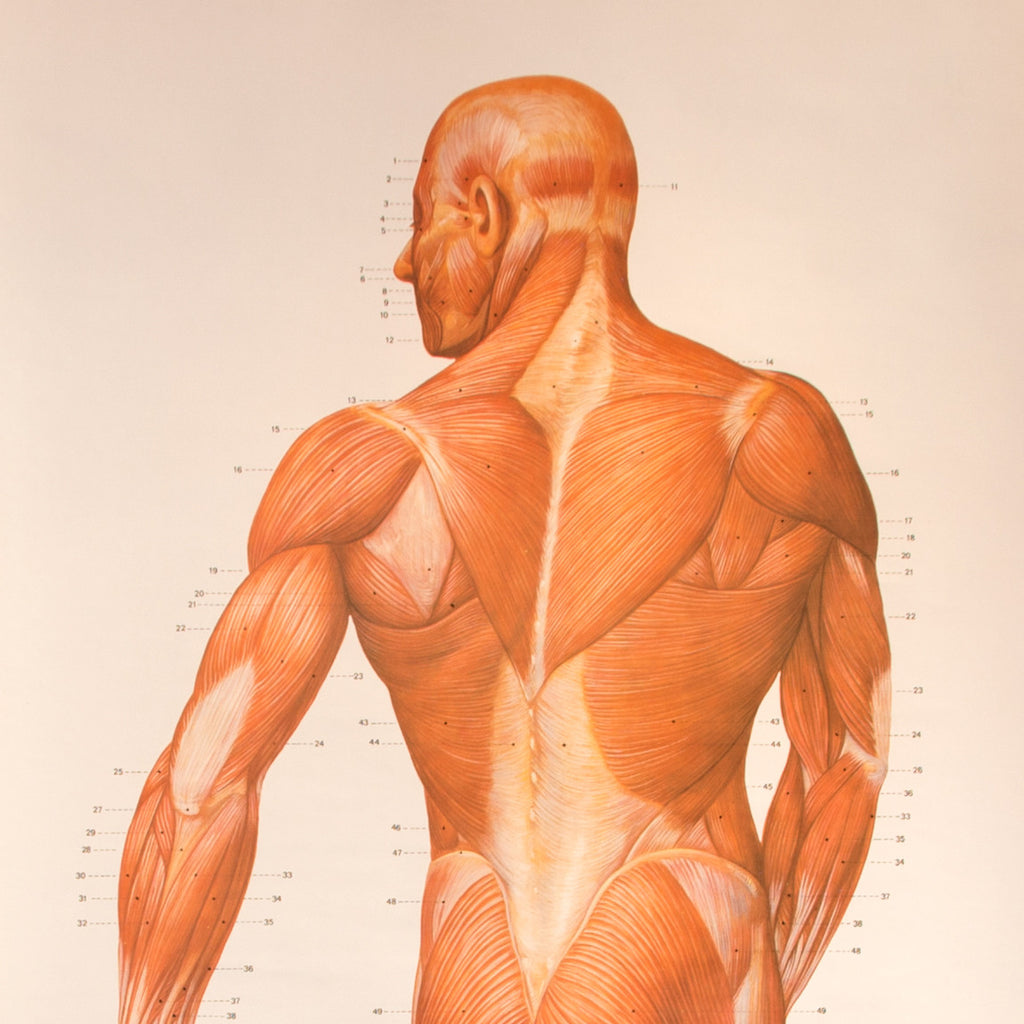 Muscle Anatomy Chart