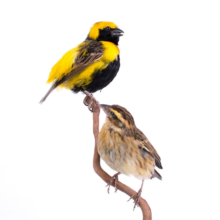 Yellow-Crowned Bishops