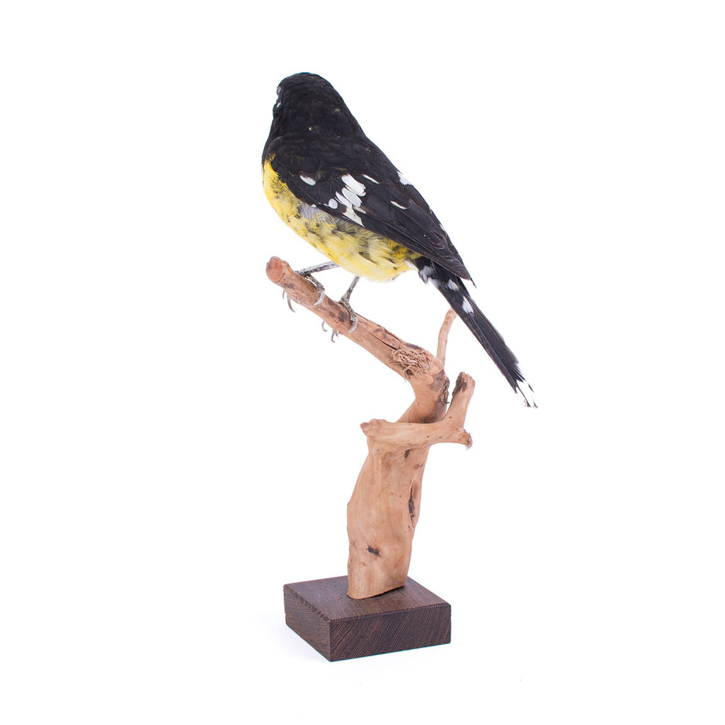 Black-Backed Grosbeak