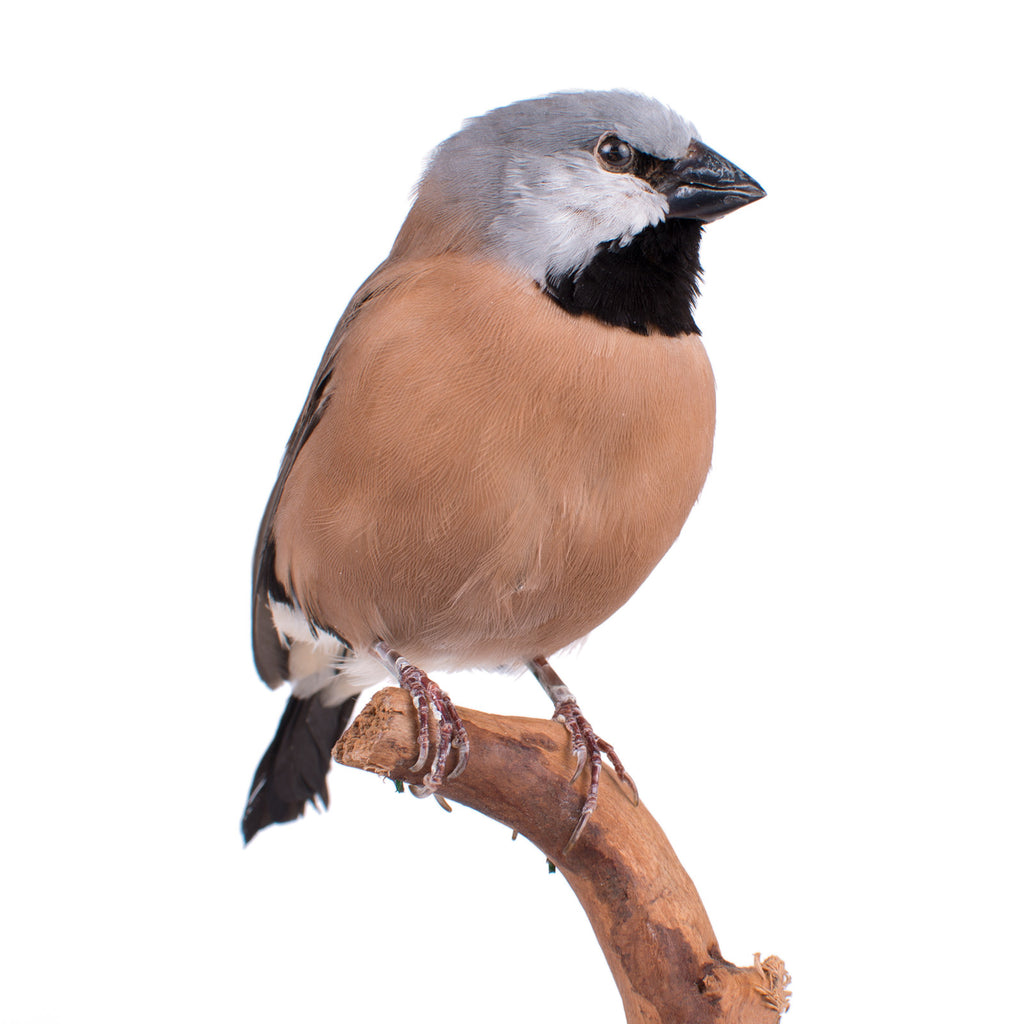 Black Throated Finch