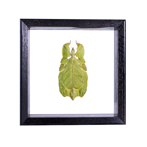 Living Leaf Insect